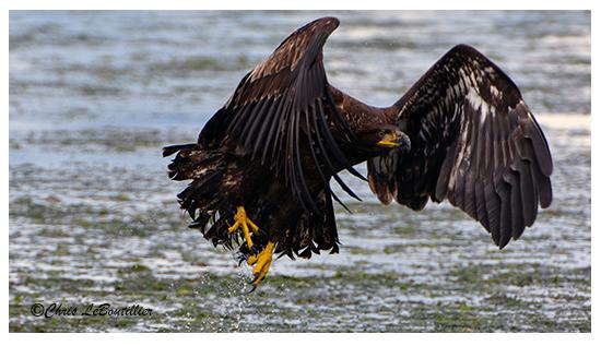 Eagle Off North Beach