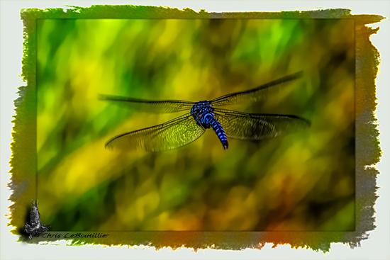 Guemes Island Dragonfly