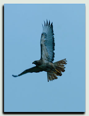 hawk_Fly