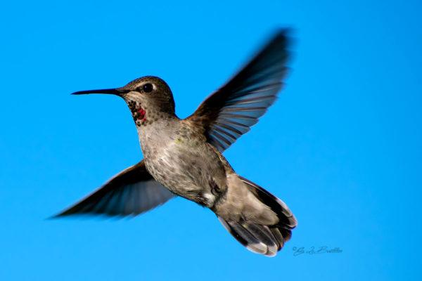 Hummingbird Guemes Island