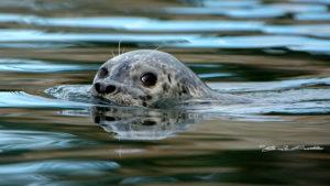 Guemes Island Seals